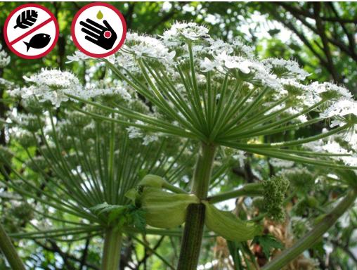 Giant hogweed  (Heracleum mantegazzianum)  © Claude Lavoie, ESAD