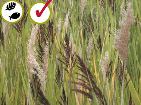 Roseau commun Phragmites australis Common reed (1,5 - 2,5 m)  © Bibiane Racette, CREAT
