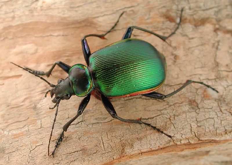 Le grand calosome vert ( Calosoma scrutator ). © David R. Maddison