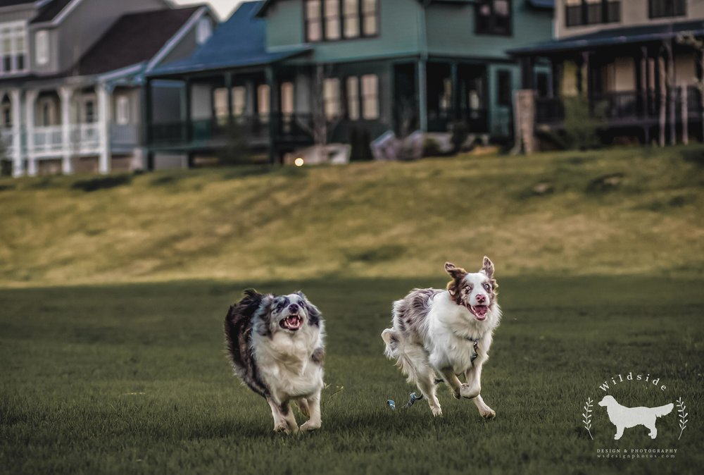 border collies, funny, dogs