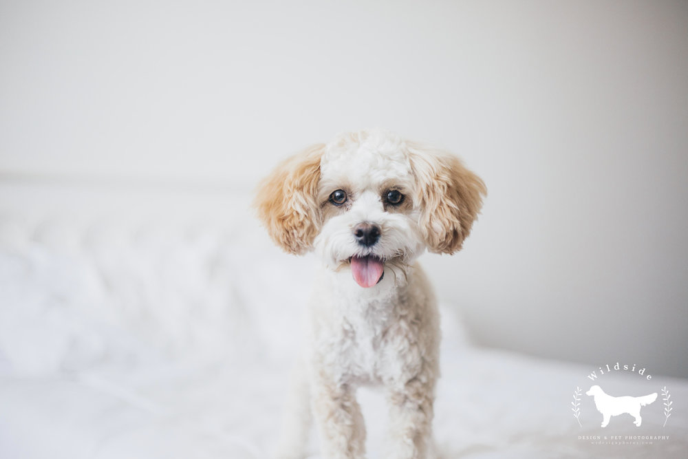 Maltipoo, Maltese, Poodle, Teacup, Dogs
