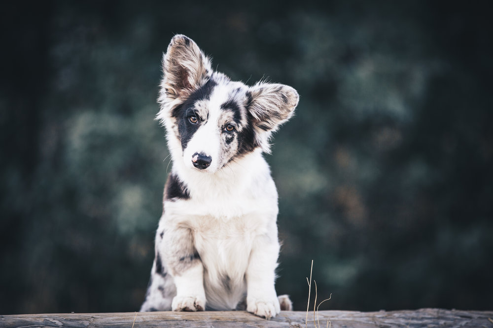 pupbox, puppy, corgi, puppy training, Utah photographer, Utah pet photographer, utah dog photographer, dog portraits, cute pup, dog