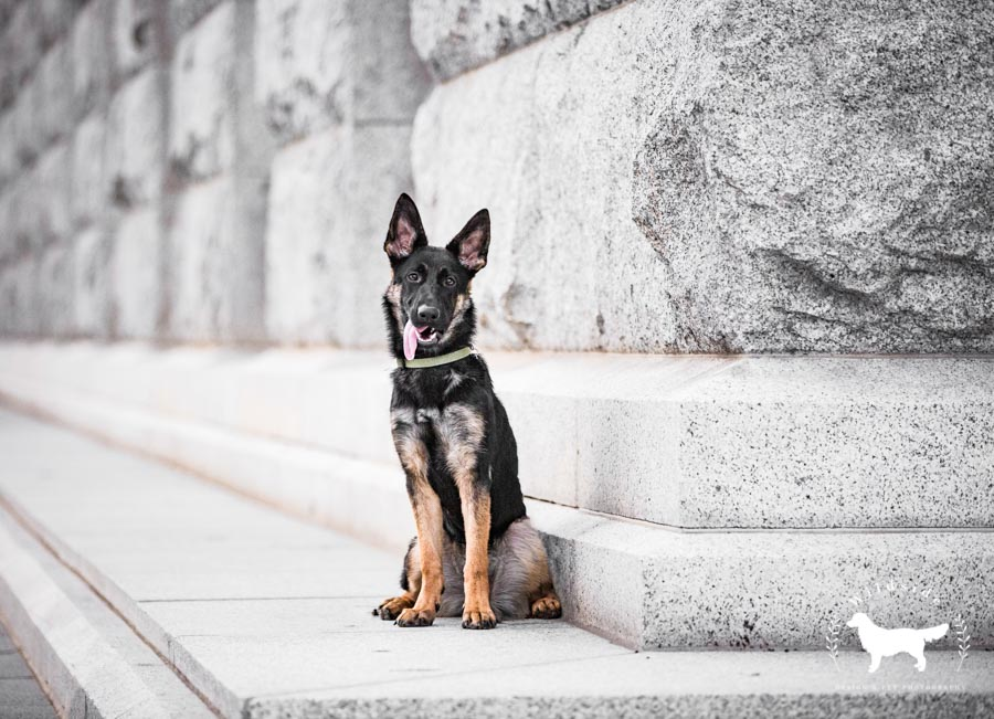 utah pet photography, wildisde pet photography, photography, pet photography, cute pets, german shepherd, dogs, dog, utah, salt lake city, memory grove park, utah state capitol, utah pet photographer, Utah dog photographer , puppies, puppy, cute dogs, downtown salt lake city, candi wong
