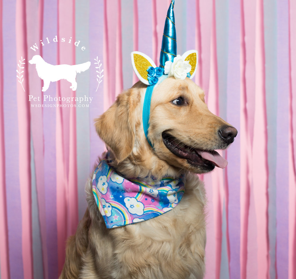 Utah, Salt Lake City, Pet Photography, Photography, Utah Pet Photographer, Photographer, Studio Photography, Savage Seamless paper, Birthday, Birthday Pawty, Unicorns, Unicorn Birthday, Wildside Pet Photography, Golden Retrievers, Rescue Dogs, Golden Retriever Puppies, Pet Photographer in Utah, Calling all Dogs, Canon, Canon photography, pupbox, barkbox