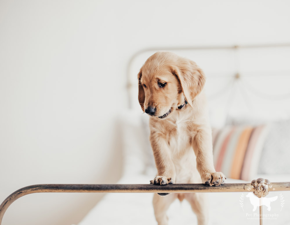 Utah, Salt Lake City, Pet Photography, Photography, Utah Pet Photographer, Photographer, Studio Photography, Savage Seamless paper,Wildside Pet Photography, Golden Retrievers, Golden Retriever Puppies, Pet Photographer in Utah, Canon, Canon photography, pupbox, barkbox