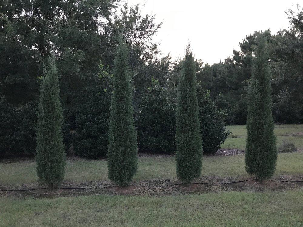 taylor junipers.jpg