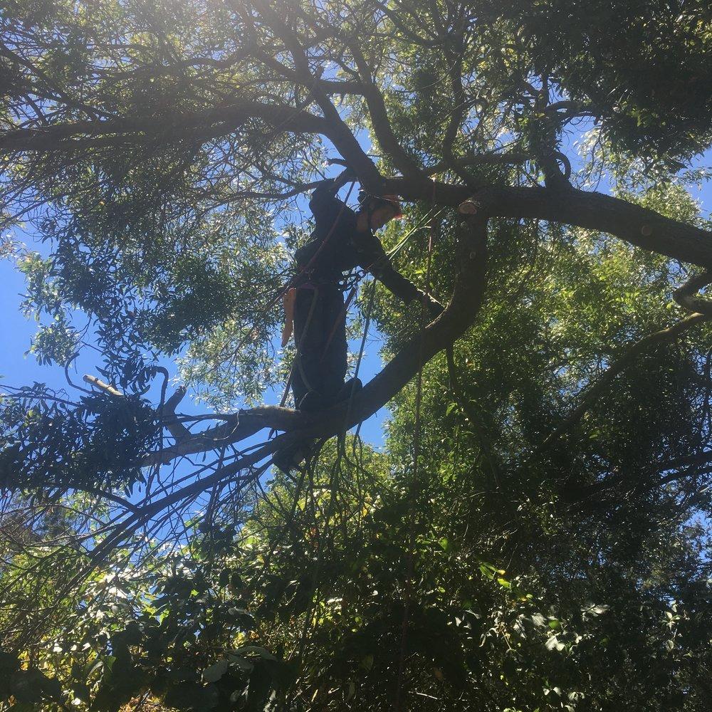 Acacia melanoxylon ~ Blackwood Acacia  Tyler removing a broken limb
