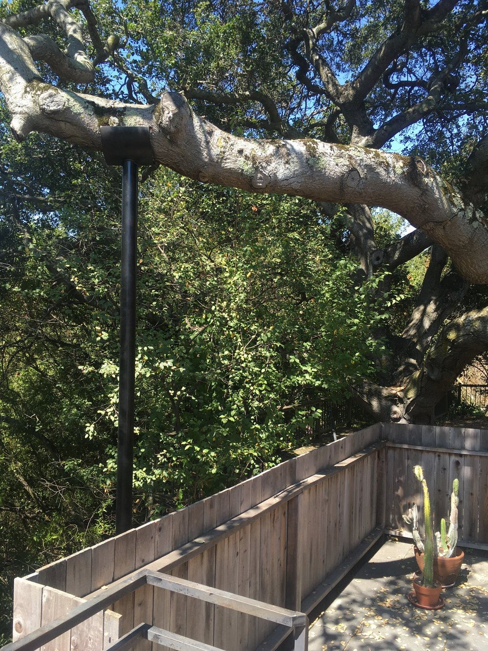 Quercus agrifolia ~ California Live Oak  Rather than removing this massive limb and creating a wound that would take 20+ years to properly heal over, we installed this limb support.