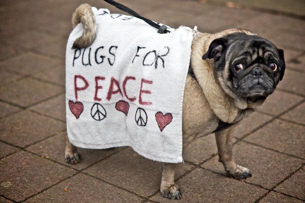 pugs-for-peace.jpg