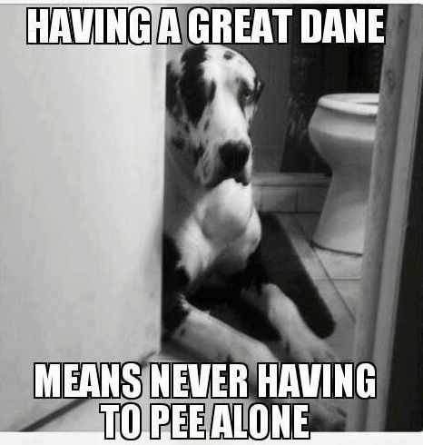 great-dane-pee-funny-dog.jpg