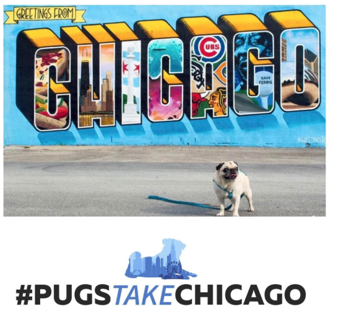 pugs take chicago pug meetup