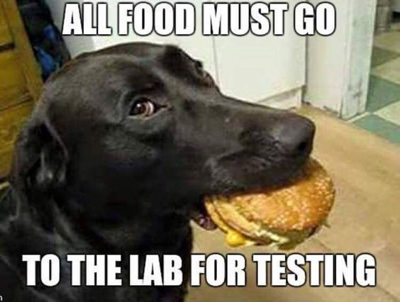 black lab funny joke and meme