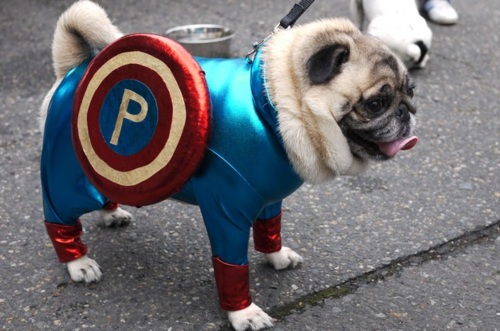 Captain Ameripug!