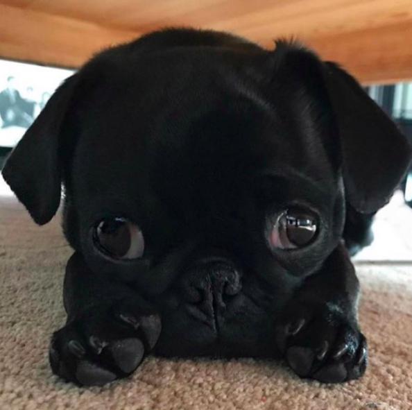 cutest pug in the world contest pug jokes