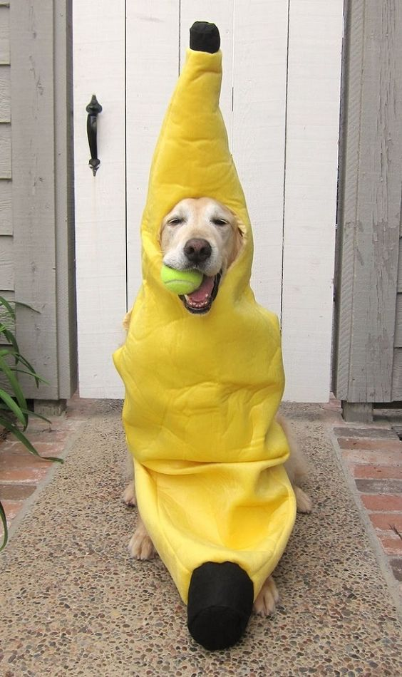 labrador-banana-dog.jpg