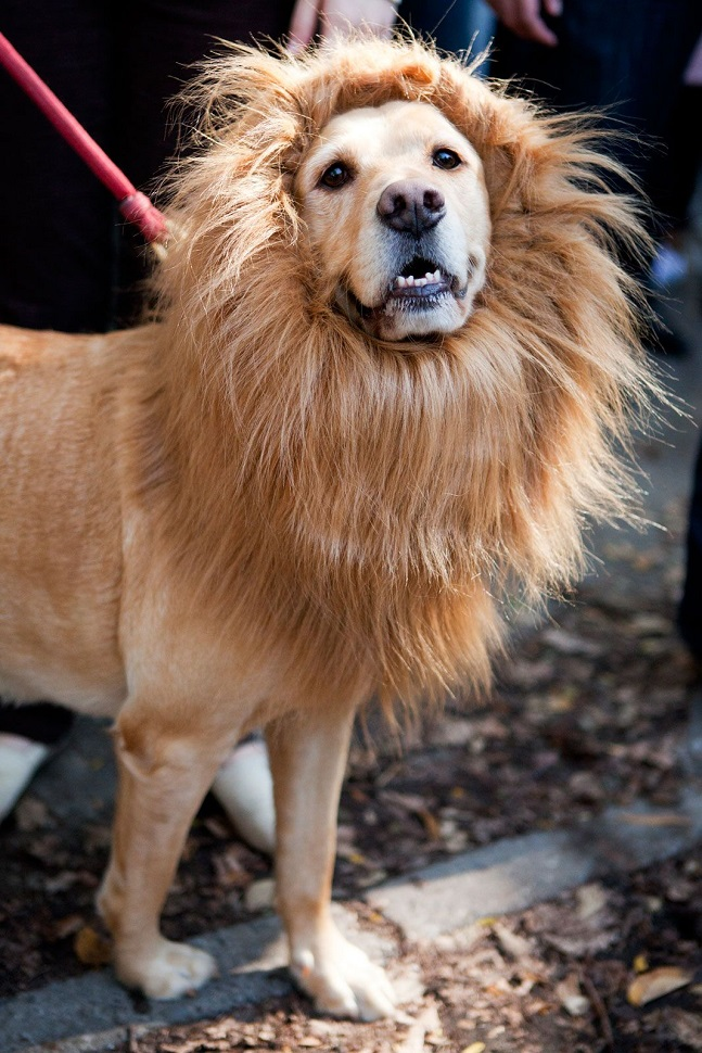 labrador-lion-dog-face.jpg