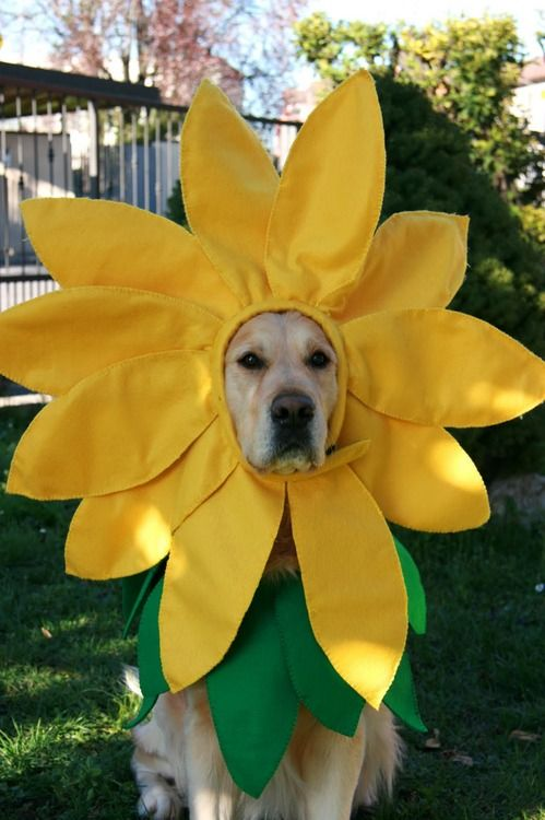 golden-sunflower-labrador-dog.jpg