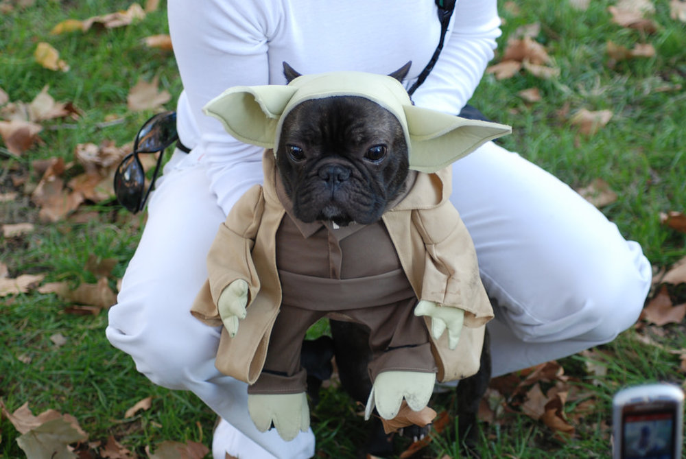frenchie yoda!