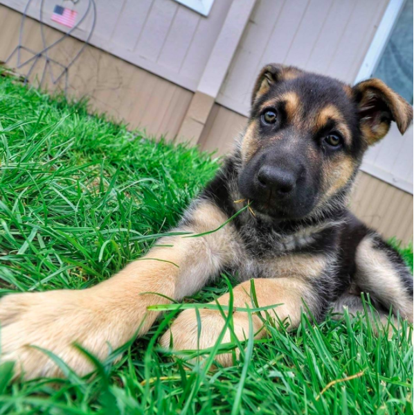 @elena_the_german_shepherd_