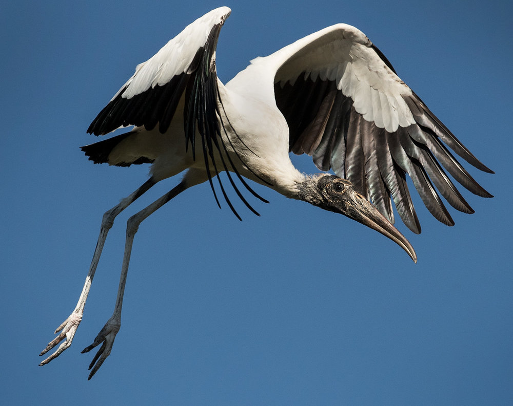 The Wood Stork is a common site in the spring in Central Florida. It is the only stork that breeds in the United States. Placed on the Endangered Species list in 1984 it has made a successful comeback and was downlisted to Threatened status in 2014.