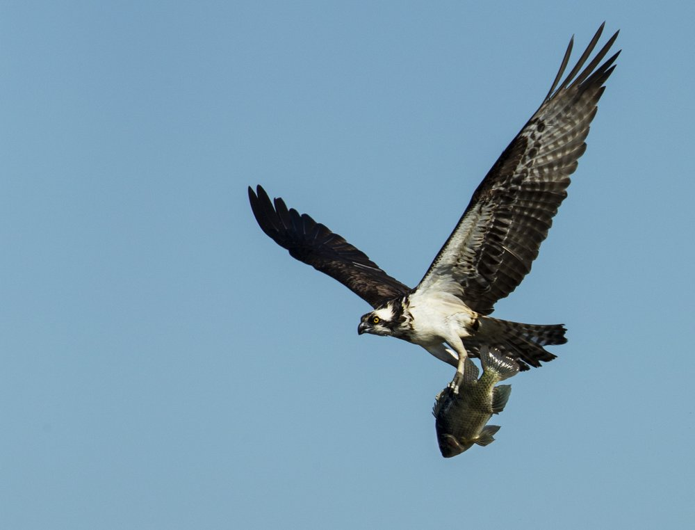 "An Osprey carries its catch to a nearby nest. Blue Cypress Lake has one of the largest populations of these ""fish hawks"" in Florida."