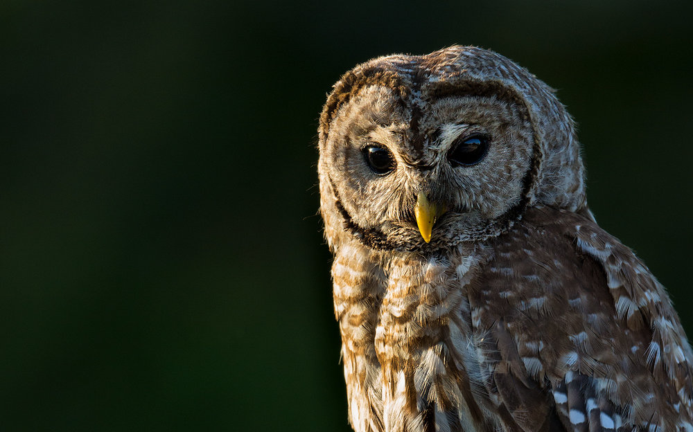 """Hooty"" the Barred Owl hangs out around the camping area at Blue Cypress Lake."