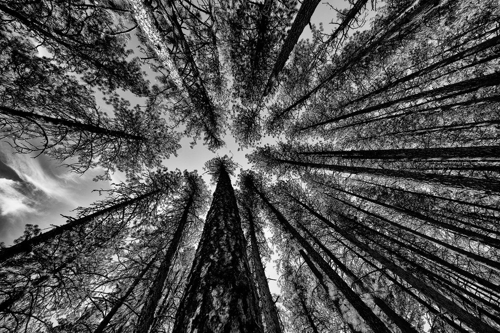 Tall pine trees reach toward the sky in Kamiak Butte State Park.
