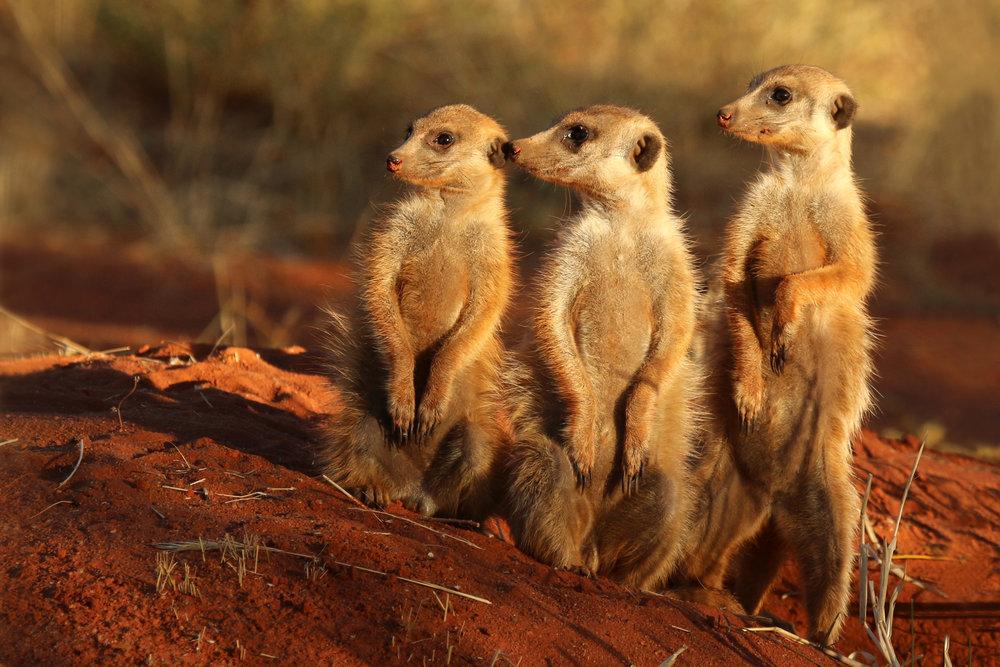 Meerkat_(Suricata_suricatta)_Tswalu.jpg