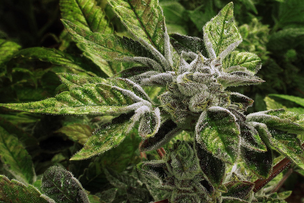 illinois-full-bloom-marijuana.jpg