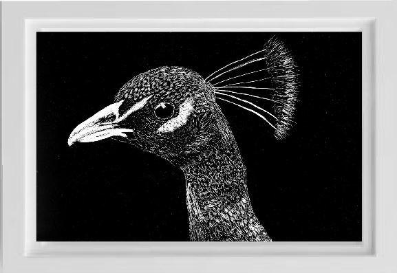unsketch scratchboard peacock pet portrait