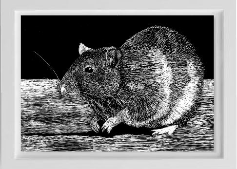 unsketch scratchboard rat pet portrait