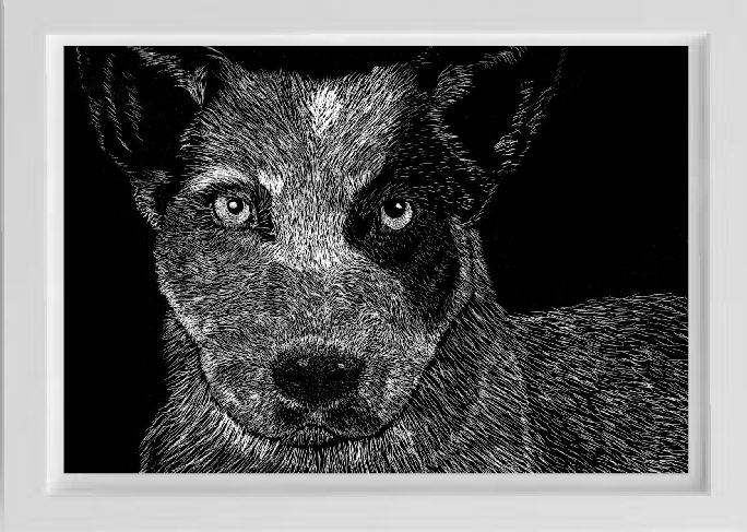 unsketch australian cattle dog pet portriat