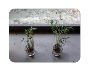 Plant on the left – seeds germinated with not treated water Plant on the right -seeds germinated from restructured water