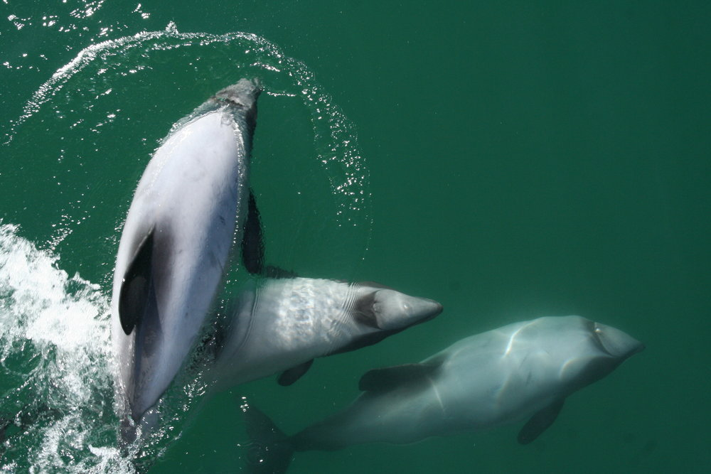 2. HAVE YOU SEEN THE DOLPHIN'S LATELY? 20% OFF FOR ROMER'S - Akaroa is the home to one of the world's smallest and rarest marine mammals - the Hector's Dolphins. These guys are like the kiwi of the sea - you can't see them anywhere else in the world! Mix that with the fact that Akaroa Harbour is actually the crater of an extinct volcano and you have a pretty awesome combo. Why not come and check it out? You choice of a scenic Harbour Cruise (with plenty of photo opportunities), or take it to the next level and go swimming with the dolphins. All just a 90min drive from Christchurch. Plus - book now online and use the promo code