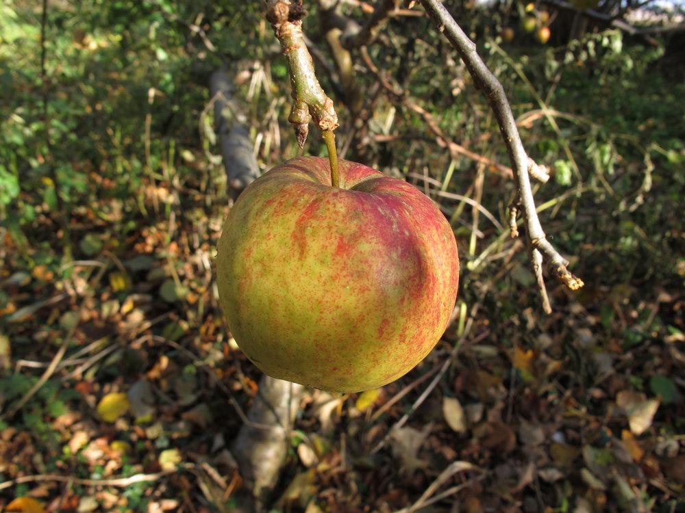 På grunden er der en tilgroet æblelund, som vi arbejder på at beskære og befri, så træerne kan få lidt sol.