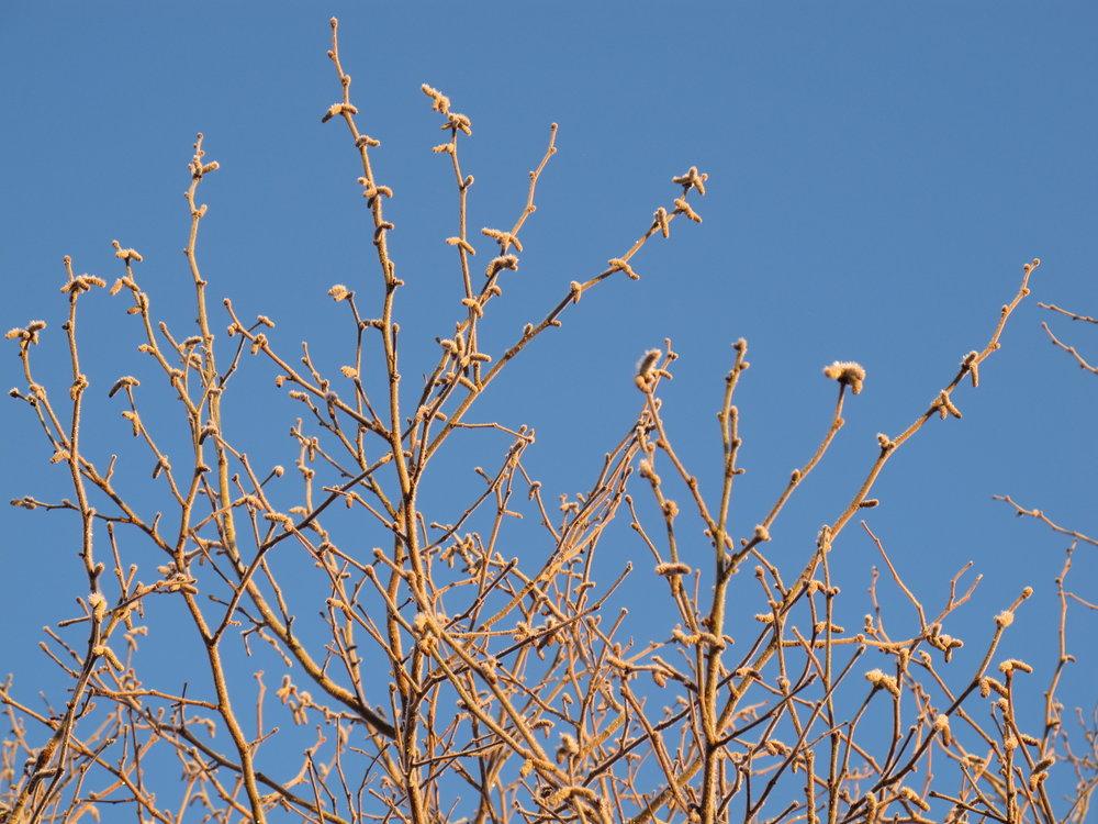 Hasseltoppe på en smuk,frostkold januarmorgen