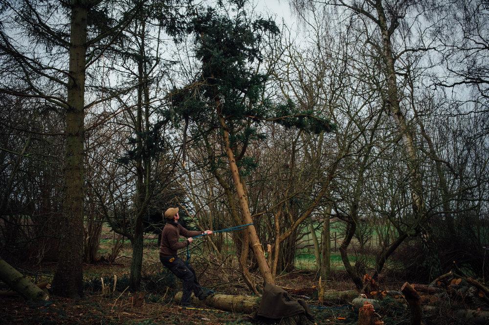 Et mindre træ lægges ned. Til venstre ses det store grantræ, som kræver motorsav. Foto: maivanilli.dk
