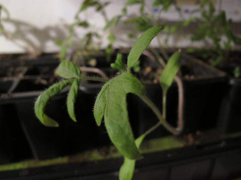 Tomatplanterne har stort set alle sammen meldt deres ankomst. Det står anderledes sløvt til med artiskokkerne. De har kun udsendt én repræsentant til overfladen. Jeg satser på, at de kommer efter det.
