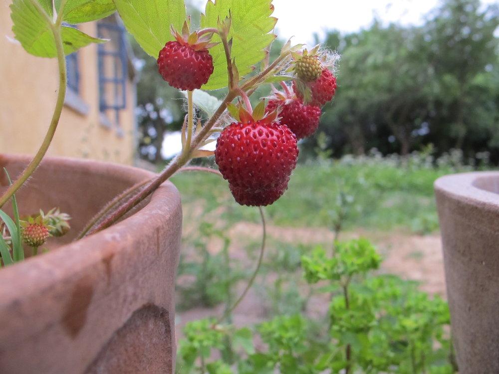 Hjemmedyrkede jordbær