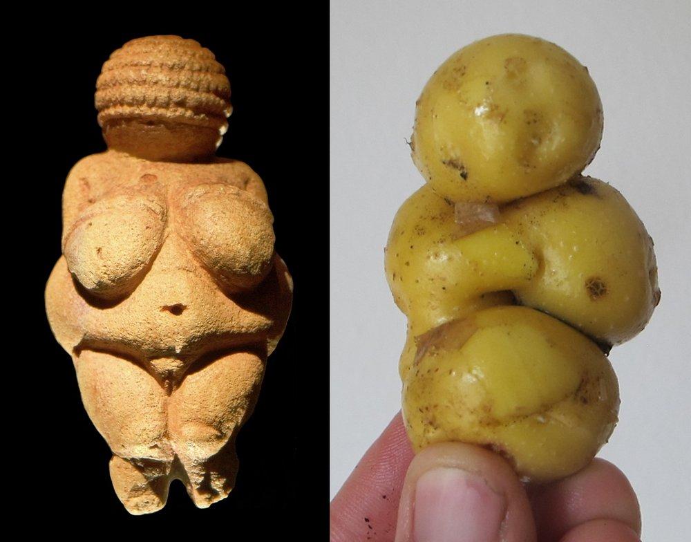 Nu er jeg ikke synderligt overtroisk, men jeg må alligevel se det som et godt tegn, at en af kartoflerne grangiveligt ligner frugtbarhedsgudinden  Venus fra Willendorf .  (Det er kartoflen til højre...).