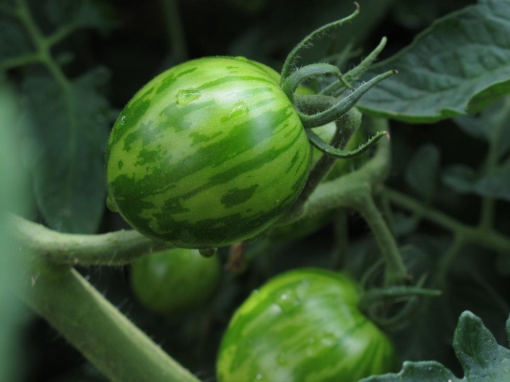 Tomaterne er på vej. Jeg er spændt på hvor stort udbyttet bliver, når de er plantet uden for drivhus. De har helt sikkert nydt godt af den solrige sommer.