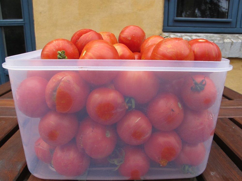 Tirsdagens tomathøst