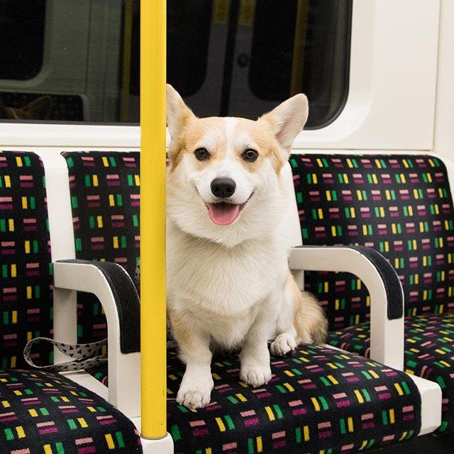 Instagram/winnythecorgi   Winston even enjoys going on the Tube. Nothing phases Winston.