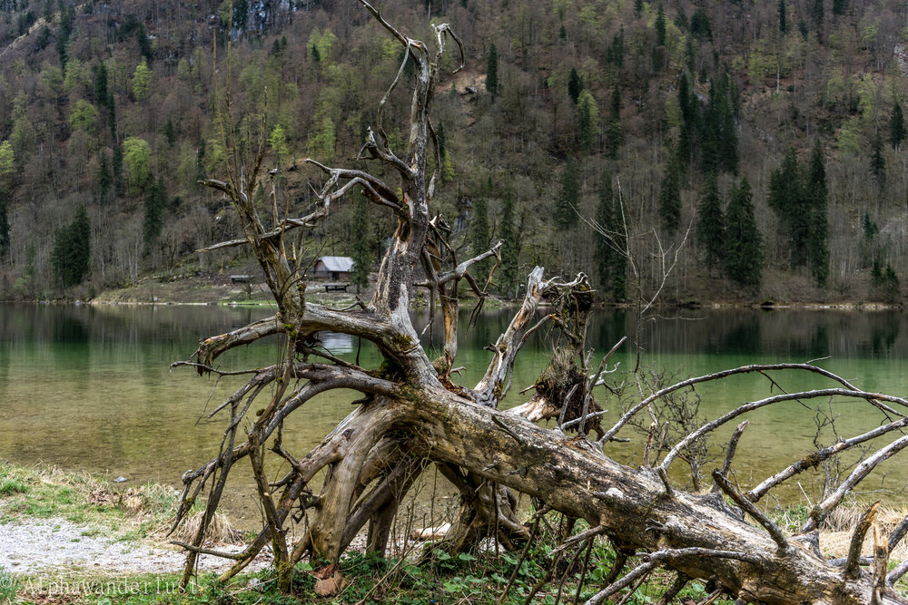 Konigssee Tree