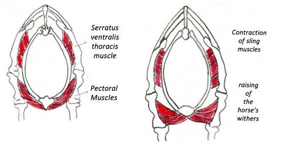 Sling muscles.jpg