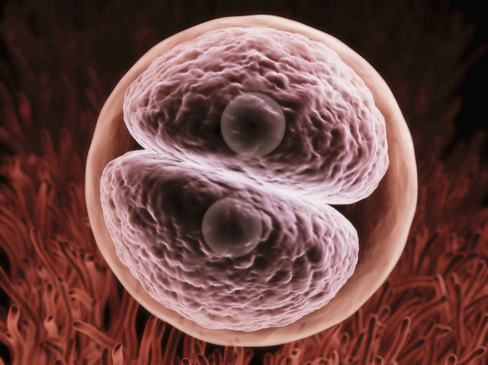 Artist's rendering of a zygote