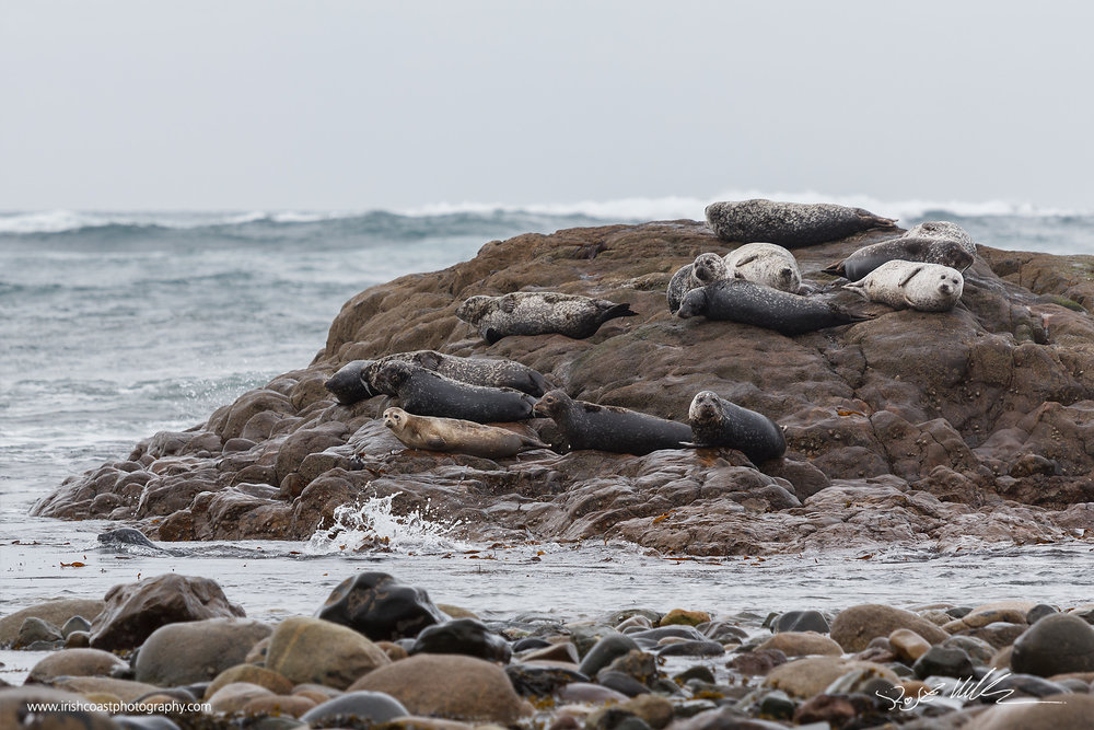 A colony of grey seals near Roonagh, Co. Mayo