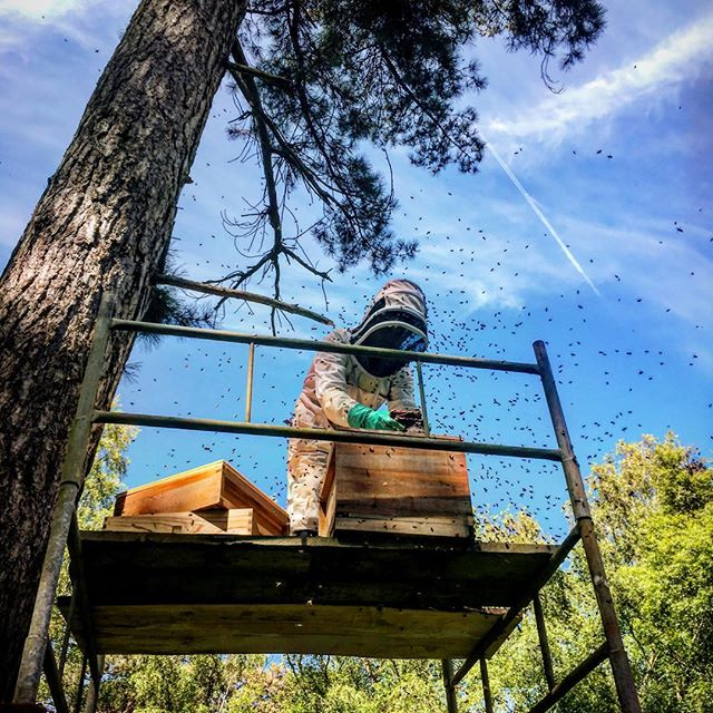 Transfering bees from a swarm trap located up a pine tree into a hive.