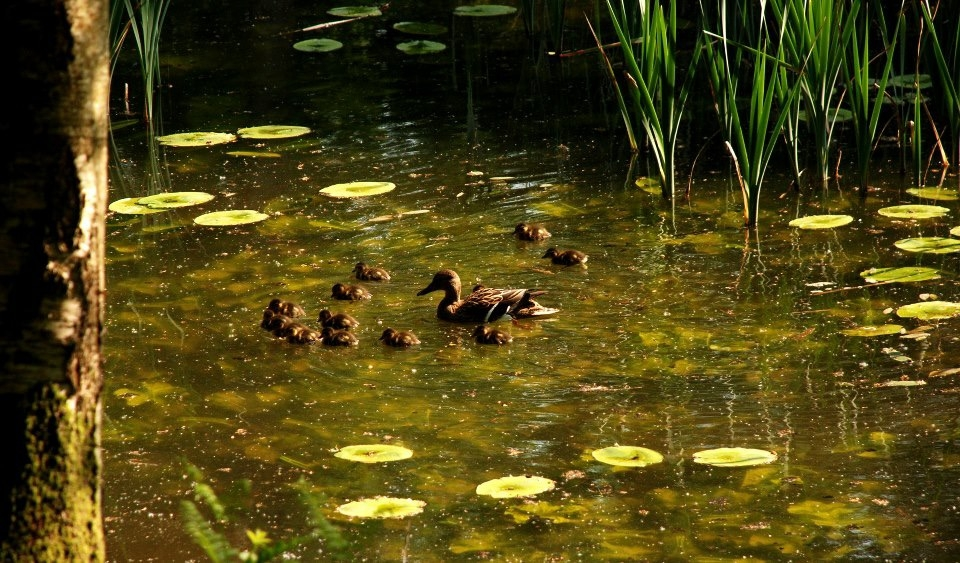 A mallard with a brood of ducklings.