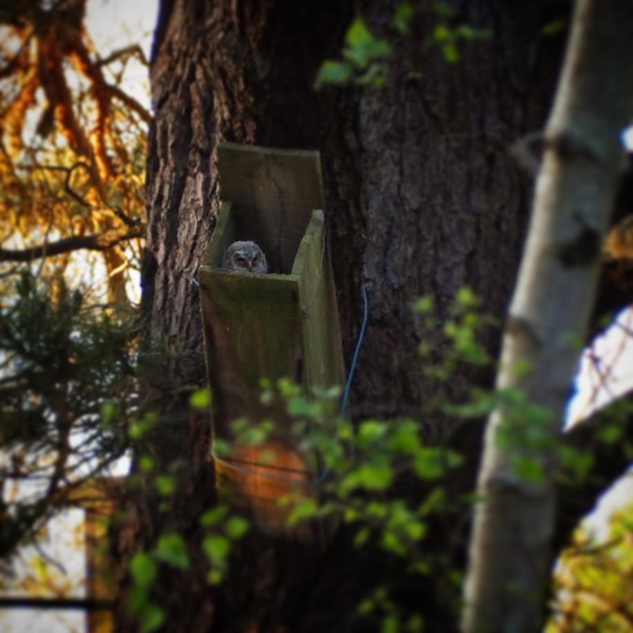 Tawny Owlet.